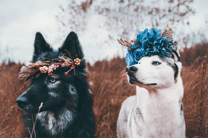 Perritos huskies usando coronas de flores mientras posan para una fotografía