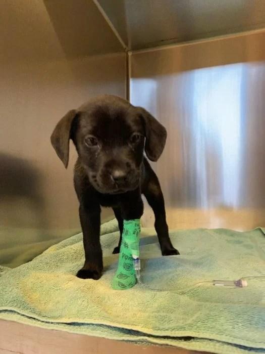 Emerson de cachorro recuperándose del parvovirus