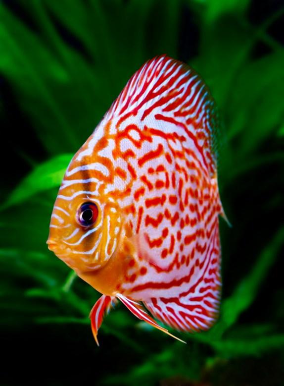 Snakeskin Discus Fish