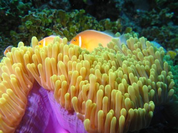 Skunk Clownfish in Anemone