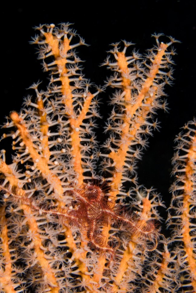 Spiny Brittle Star on Sea Fan