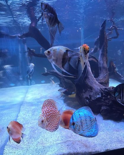 Discus and Angelfish