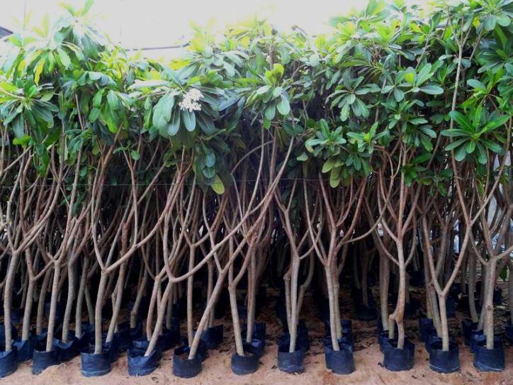 jual pohon kamboja di pekanbaru