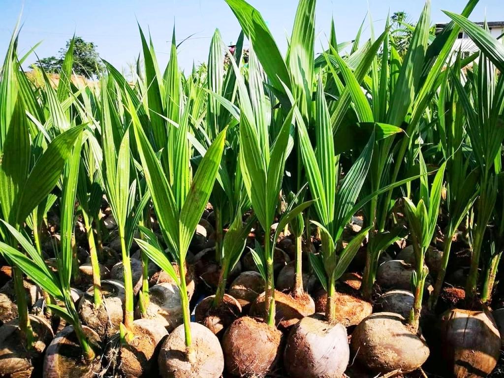 jual bibit kelapa di malang