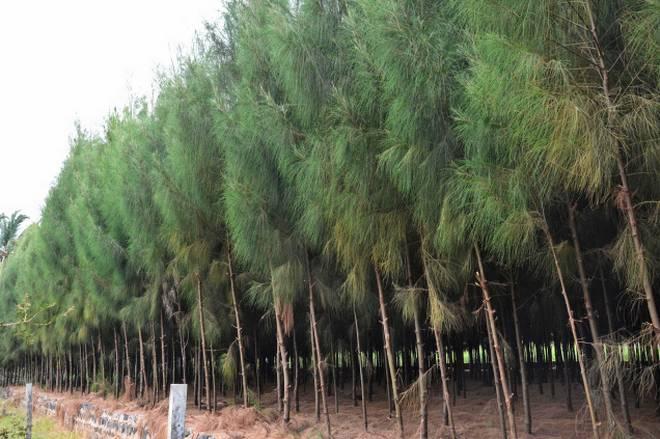 jual pohon cemara di Kutai Kartanegara