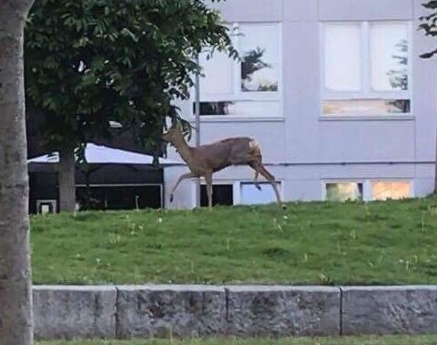 Nå er det blitt observert flere rådyr på Økern og Løren området de siste dagene. Trine Skjager fanget noen unike bilder av en Rådyr Kalv i dag 05:59. Hun sier […]