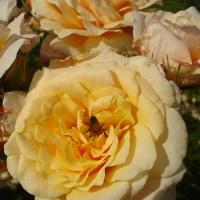 Poznate že vso pestrost vrtnic?