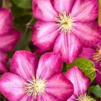 Sroboti - čudovite vzpenjavke za vsak vrt