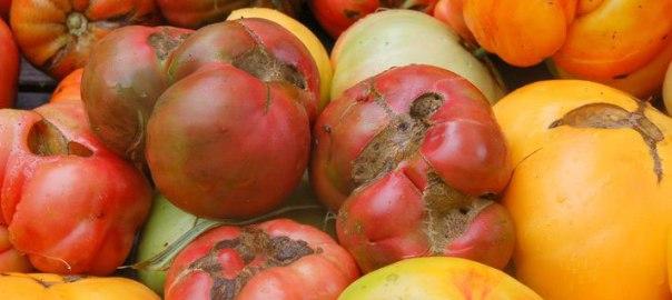 bolezni paradižnika
