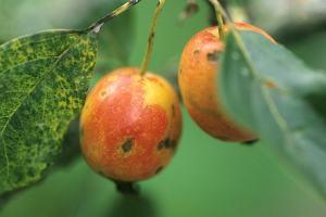 jabolčni škrlup