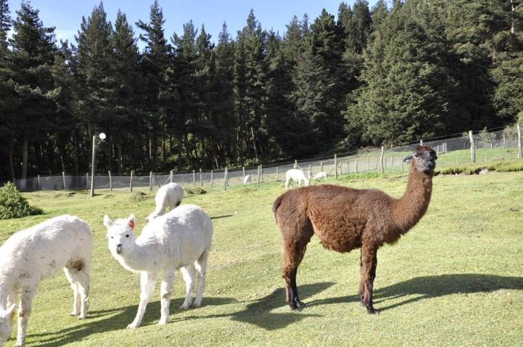Lamas a Boliche