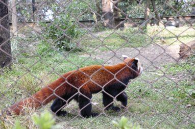 red panda, moins rare que le panda
