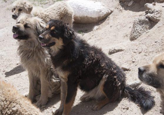 chien ladakhi