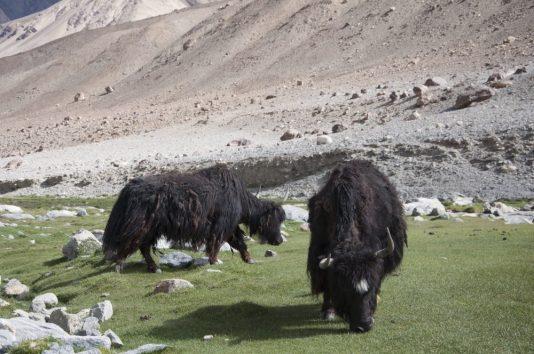 Dzo (issu du yak et de la vache)