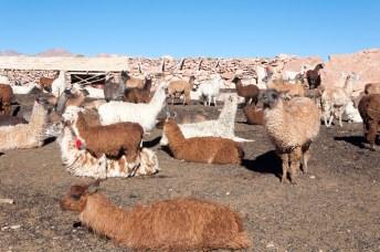 Lamas dans un enclos de protection