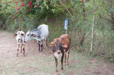 Parking à vache