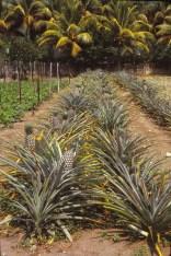 Les plantations de mon entreprise, à La Merced