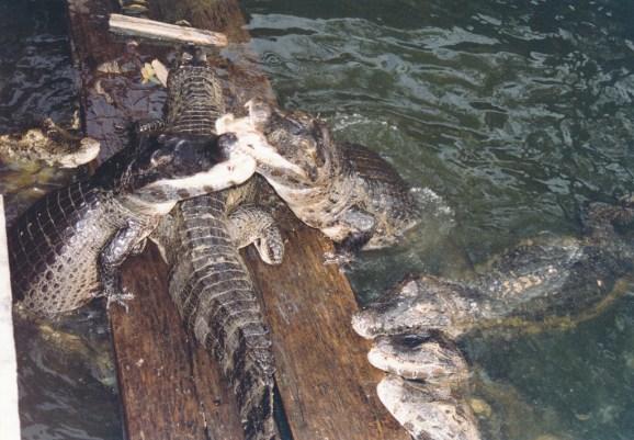 Alligators, vus d'un des ponts