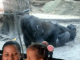 Onlookers in shock as gorilla performs oral s3x on its partner in a zoo (video)
