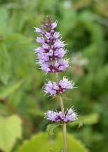 peppermint flower