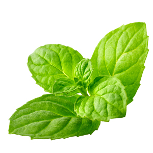 Peppermint - Essential Oil of Peppermint is part of the Olbas formula