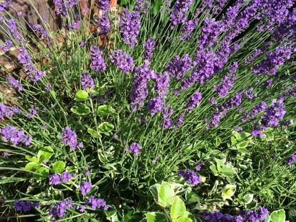 lavenderupf