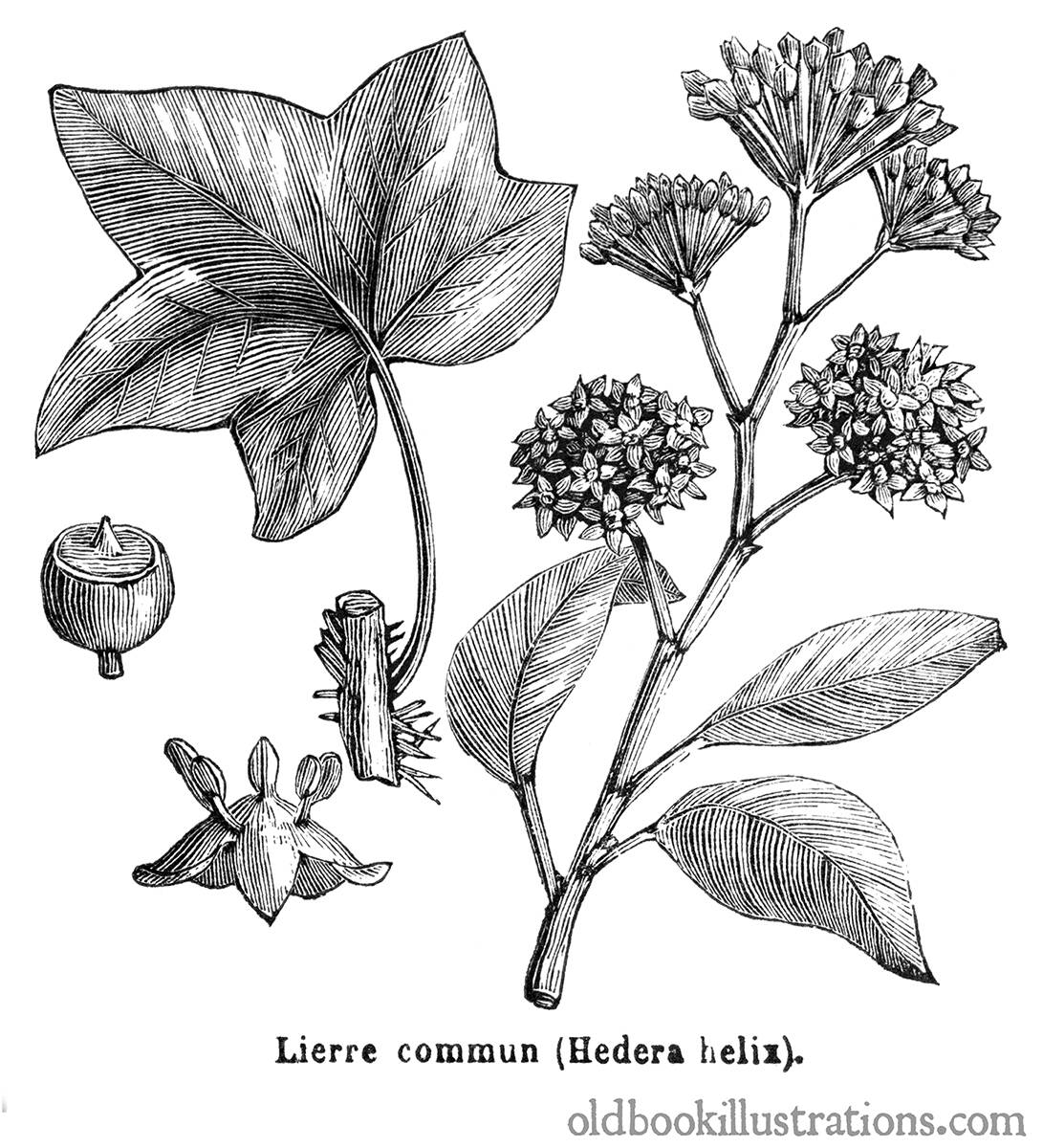 Common Ivy Old Book Illustrations