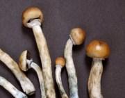 harvested shrooms