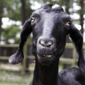 essie-the-grinning-goat