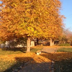 Horse Chestnut in Fall