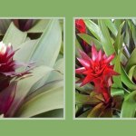 Bromeliads | Old Metairie Garden Club