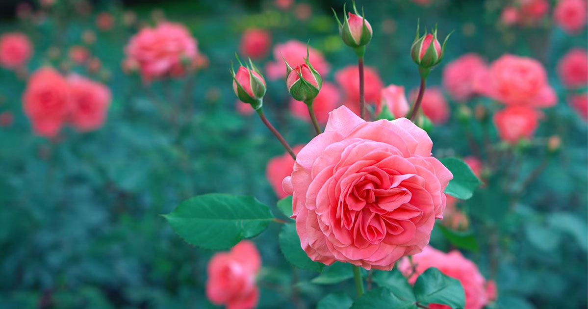 Roses | Old Metairie Garden Club