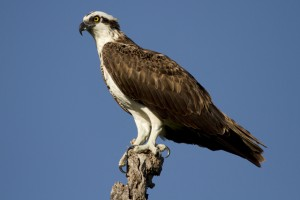 An osprey stands atop its perch. (Credit: Christopher Paparo)