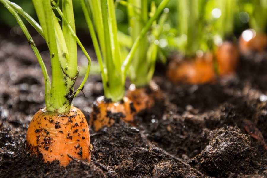 Planting carrots is easy with seed tape
