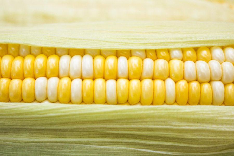 An ear of corn, photo by Phoenix Han (Unsplash_