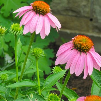 Echinacea Purpurea is a good immune booster and would add beauty to any survival garden.