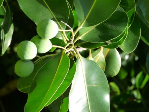 Calophylle inophylle