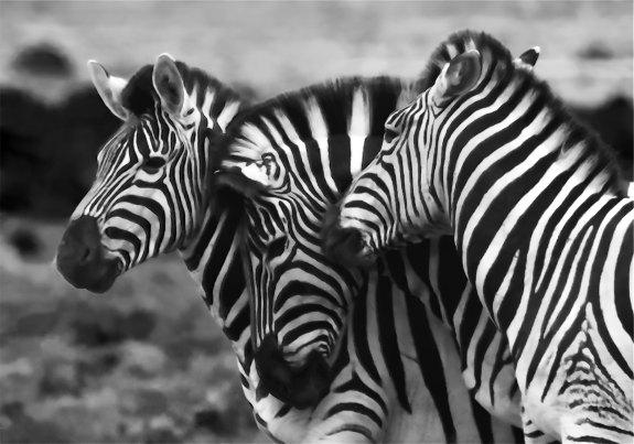 Tribu_Cebras