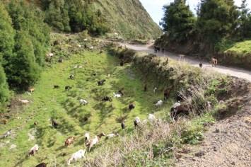 Ziegenweide am Rande des Wanderweges