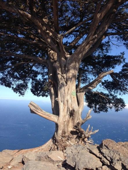 Baum oberhalb des Valle Gran Rey mit Meerblick
