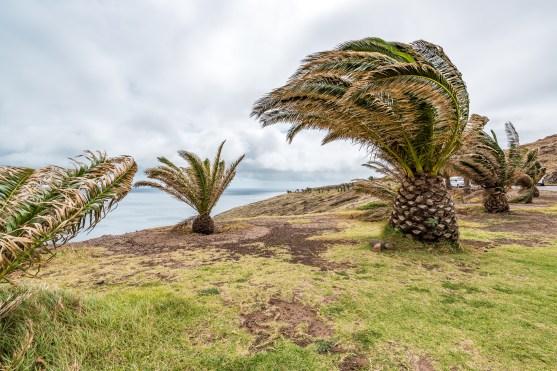 Palmen im Wind Ponta de Sao Lourenco