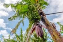 Palme Bananen Plantage Madeira besuchen