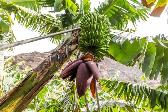 Bananen auf Madeira