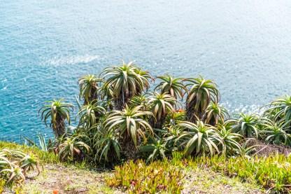 Pflanzen Küste Sao Miguel Azoren