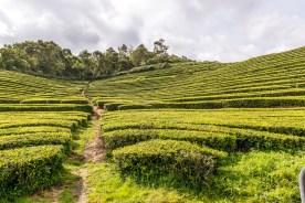 Weg durch Teeplantage Azoren Sao Miguel
