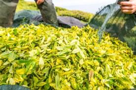Detailansicht Tee Ernte Teeplantage Azoren