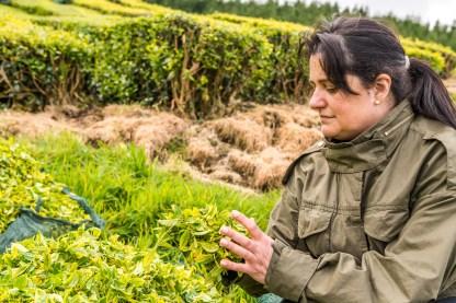 Frau mit Tee in Teeplantage Azoren
