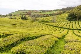 Azoren Sao Miguel Teeplantage