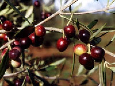 Olio extravergine d'oliva biologico Fanciulli - Tipo di cultivar: Ciliegino