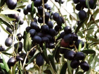 Olio extravergine d'oliva biologico Fanciulli - Tipo di cultivar: Maremmano
